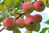Сколько весит яблоко