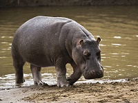 Вес бегемота