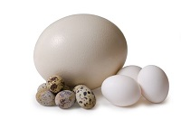 Скоько весит яйцо страуса