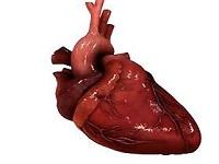 Вес сердца
