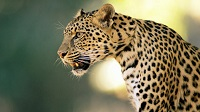 Сколько весит леопард