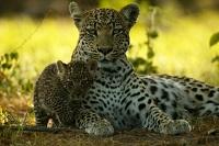 Вес леопарда