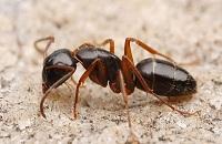 Сколько весит муровей