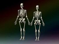 Сколько весит скелет человека