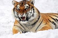 Вес тигра