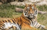 Сколько весит тигр