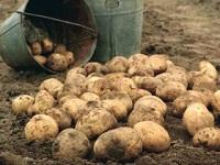 Сколько весит ведро картошки