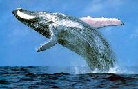 Вес кита